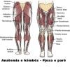 Anatomia e këmbës pjesa e parë